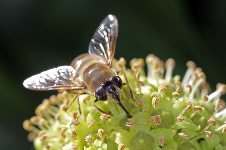 Close-up, macro photo of a Fly feeding on an Ivy flower.