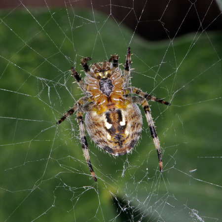 Close-up, macro photo of a spider sitting in its web.