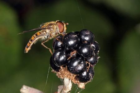 Close-up, macro photo of a Hover fly feeding on a blackberry bush. Stock Photo