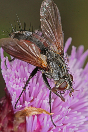 Close up macro photo of a fly feeding on an thistle flower head.