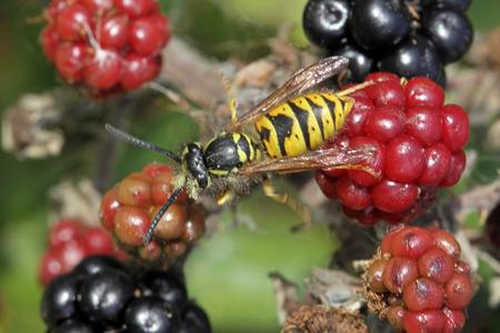 Close-up, macro photo of a Wasp feeding on a blackberry bush. Foto de archivo