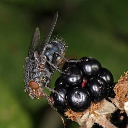 Close-up, macro photo of a Fly feeding on a blackberry bush. Foto de archivo