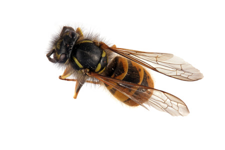 Close-up photo of a Wasp on a white background.