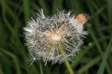 Close up photo of a Dandelion flower gone to seed. Stock Photo
