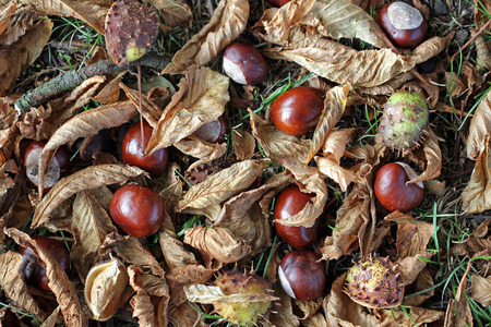 horse chestnut': Conkers, leaves and shells on the ground under a Horse Chestnut tree.