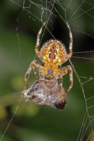 Close-up, macro photo of a spider on a web with its captured hoverfly.