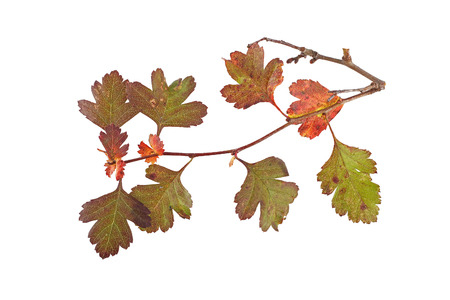 Close up photo of autumn leaves on a white background.