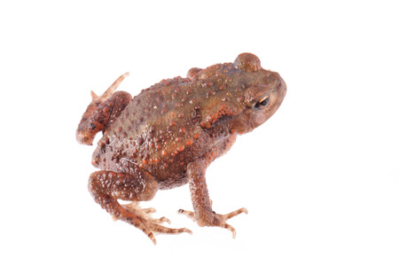 wart: Close up photo of a toad isolated on a white background. Stock Photo