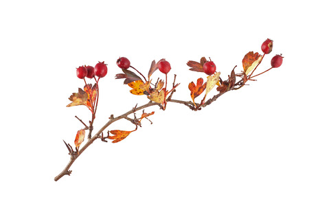 Hawthorn seeds and leaves on a plain white background. Stock Photo