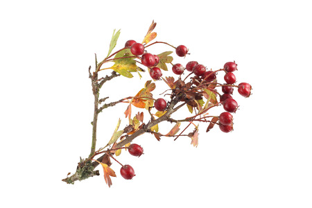 Hawthorn seeds and leaves on a plain white background. Foto de archivo