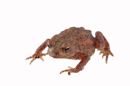 Close up photo of a toad isolated on a white background. Foto de archivo