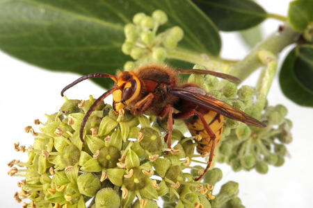 Close-up, macro photo of a Wasp feeding on an Ivy flower.