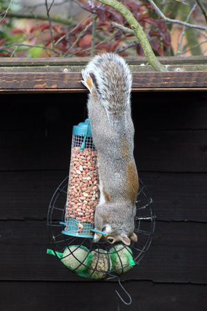 Grey squirrel hanging upside down eating nuts from on a nut bag in a garden in England.