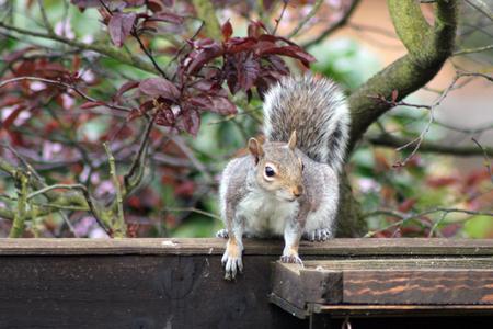Grey squirrel sitting on a fence in a garden in England