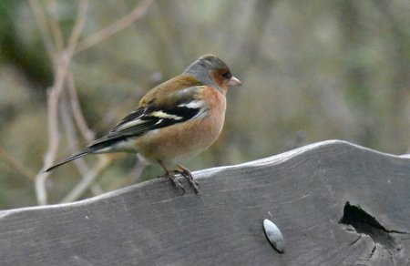 Male Chaffinch (Fringilla coelebs) side on, perched on wooden rail.