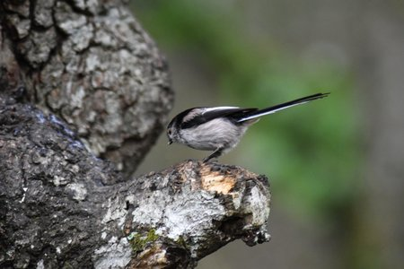 A Long tailed tit (Aegithalos caudatus) perched on a stub of tree branch.