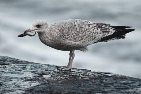 Young Herring Gull (Larus argentatus) percehed on a sea wall with a freshly caught fish, probably a goby.