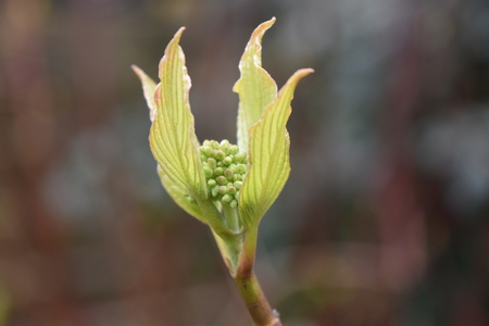 Dogwood bush (Cornus alba)Tightly closed flower buds between four new leaves at the end of a stem