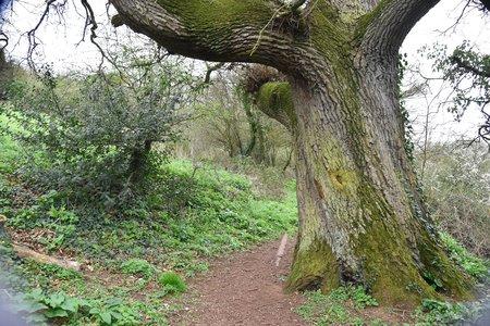 Massive trunk of ancient English oak (Quercus robur) beside a woodland path.