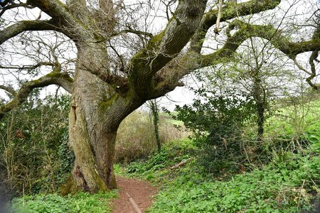 Massive trunk of ancient English oak (Quercus robur) speading heavy limbs over a woodland path. Stock Photo