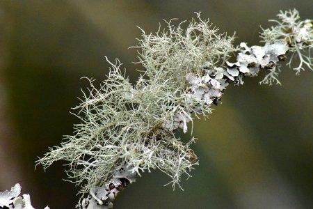 A closeup of a tangle of fruticose lichen (Usnia) ) on a twig encrusted with foliose lichen