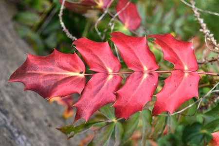 A pinnate leaf of leatherleaf (Mahonia bealei) showing bright red autumn colours with splashes of yellow Stock Photo