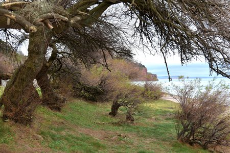 A group of battered and windswept trees on the coast at Teignmouth, Devon.