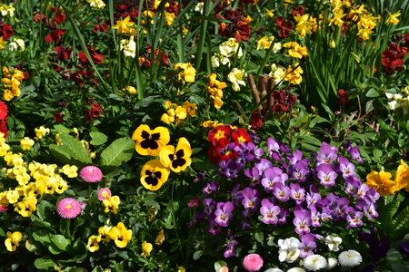 A spring flowerbed with ornamental daisy, pansy and daffodil