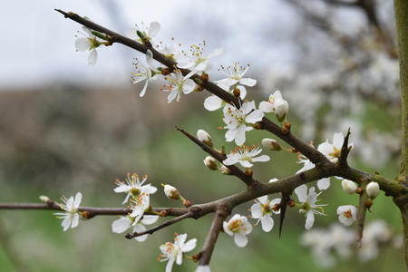 A closeup of a flowering branch of Blackthorn  Sloe (Prunus spinosa). Showing white four-petalled flowers with orange anthers, and some new flower buds. Stock Photo