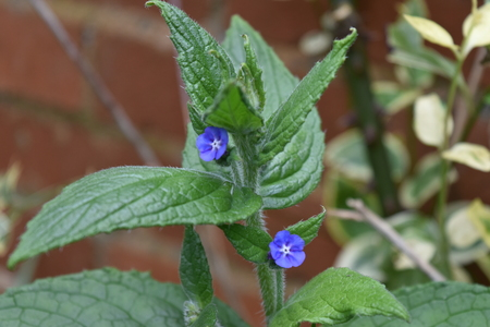 A closeup of the top of a stem of Green alkanet (Pentaglottis semperviren) showing two small blue flowers