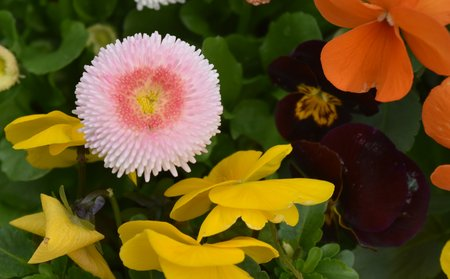 A closeup of the flower of an pink and red ornamental English daisy (Bellis perennis) with pansy flowers Stock Photo