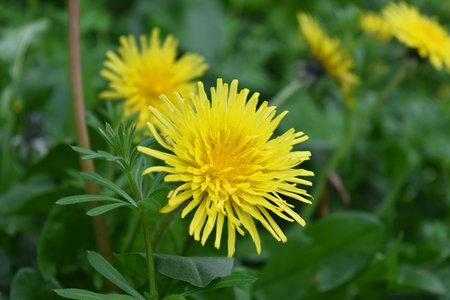 A close up of the flower of the common dandelion (Taraxacum officinale). A member of the Asteraceae (Compositae) family.
