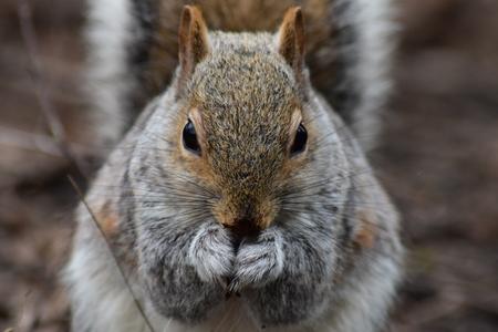 grey squirrel (Sciurus carolinensis) facing the camera, eating a seed Stock Photo