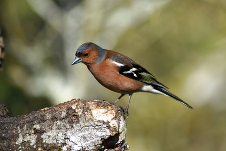 Male chaffinch (Fringilla coelebs) perched side on to camera