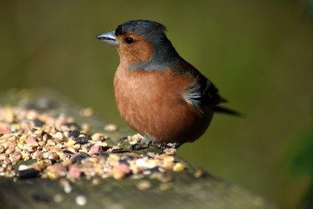Male chaffinch (Fringilla coelebs) perched with head side on to camera