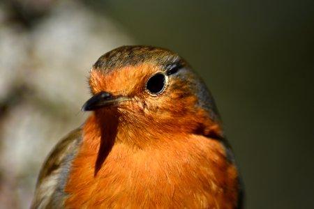 Close-up, head, of robin (Erithacus rubecula)