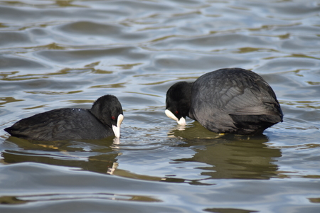 Close-up of two coots (Fulica atra) one swimming, one standing in shallow water