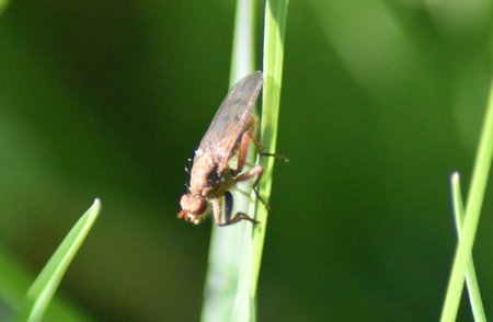 Spiny-handed Dung Fly (Norellisoma spinimanum) Perched head down on grass blade, showing dorsal surface and left side.