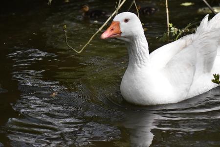 Emden goose (Anser domesticus)
