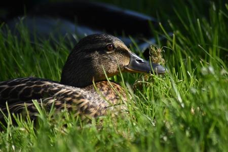 Mallard duck (Anas platyrhynchos)  female. Laying in grass, side lit by setting sun