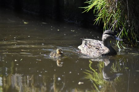 Mallard duck (Anas platyrhynchos) mother and duckling swimming.