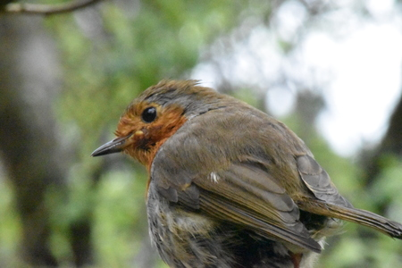 robin (Erithacus rubecula). closeup from rear, head turned to side