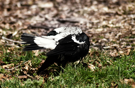 An Australian Magpie (Gymnorhina tibicen) preening with its head tucked beneath its tail