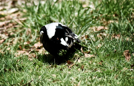 An Australian Magpie (Gymnorhina tibicen) head tilted to one side, scratching its neck