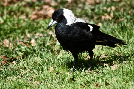 An Australian Magpie (Gymnorhina tibicen) searching for food in an area of grass