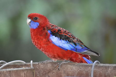 A Crimson Rosella (Platycercus elegans) perched on a fence, waiting for food
