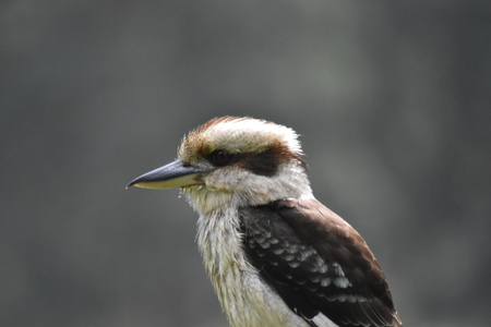 A Laughing Kookaburra (Dacelo novaeguineae) perched on a fence post, side view Stock Photo