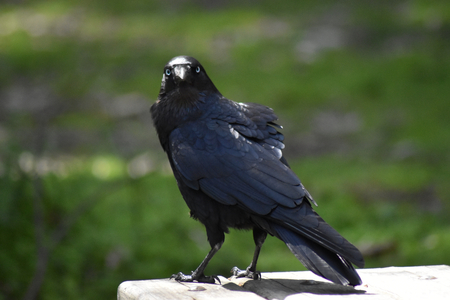 A Little Raven (Corvus mellori) perched on a picnic table, giving the camera an annoyed look