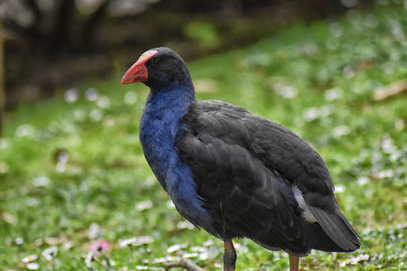 A Purple Swamphen (Porphyrio porphyrio) side view Stock Photo - 93139524