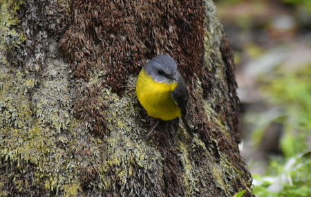 A Western Yellow Robin (Eopsaltria griseogularis) clinging to the trunck of a tree fern Stock Photo - 93609891